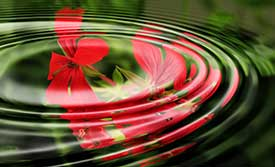 Water Lily Red